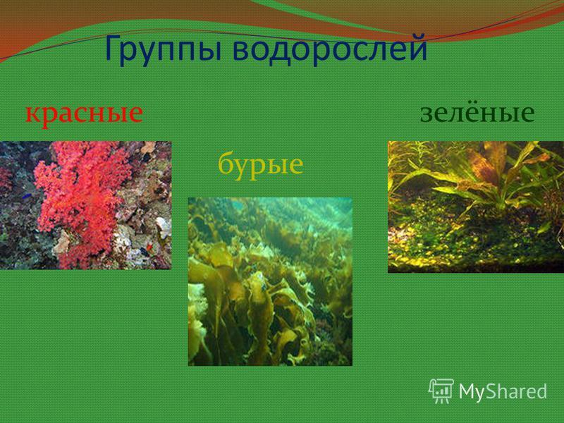 Группы водорослей красные бурые зелёные