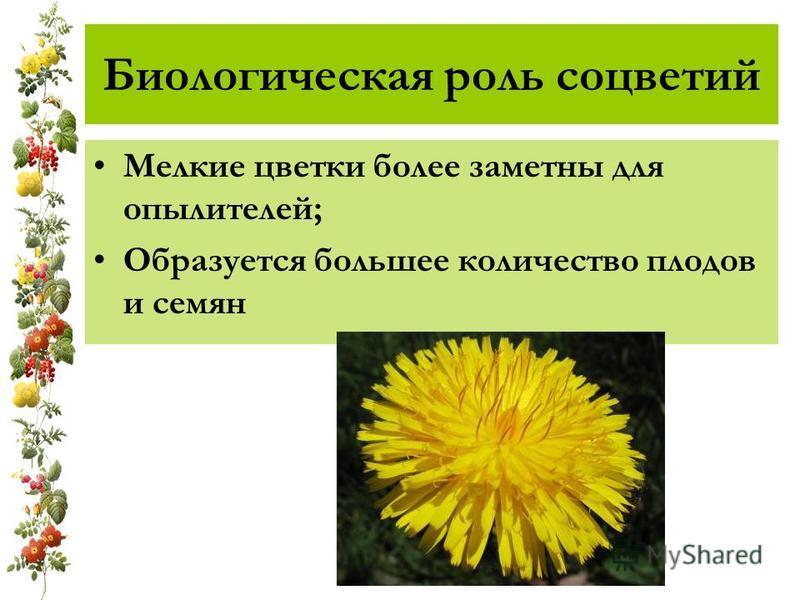 Биологическая роль соцветий Мелкие цветки более заметны для опылителей; Образуется большее количество плодов и семян