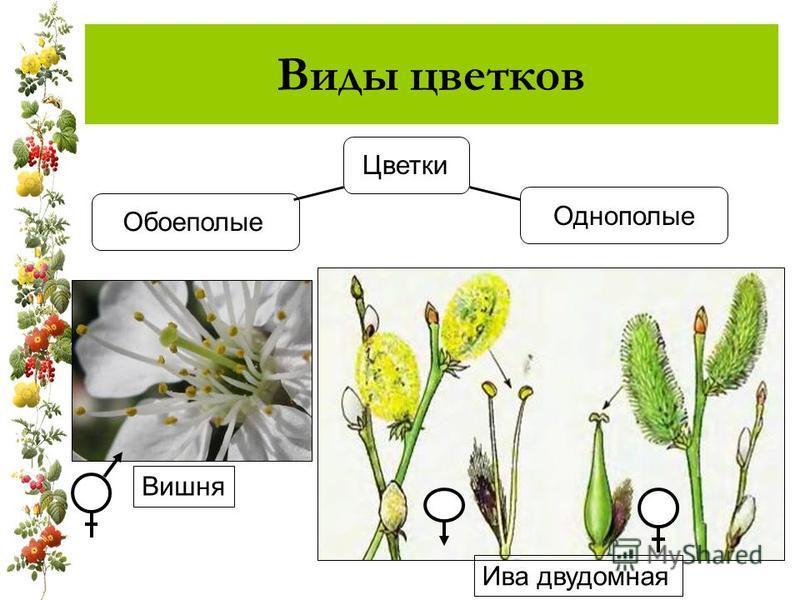 Виды цветков Цветки Обоеполые Однополые Ива двудомная Вишня