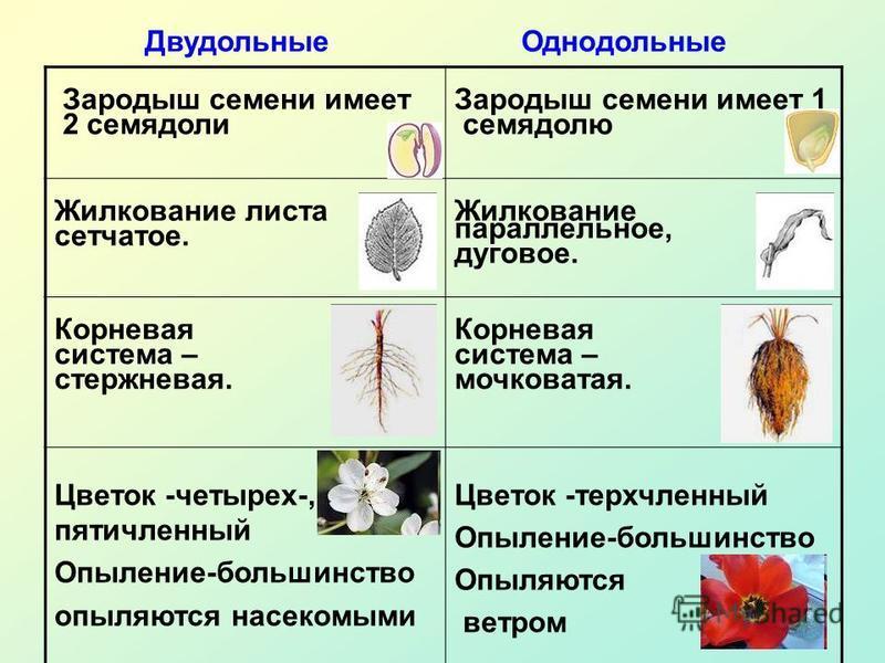 Зародыш семени имеет 2 семядоли Зародыш семени имеет 1 семядолю Жилкование листа сетчатое. Жилкование параллельное, дуговое. Корневая система – стержневая. Корневая система – мочковатая. Цветок -четырех-, пятичленный Опыление-большинство опыляются на