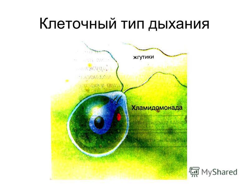 Клеточный тип дыхания