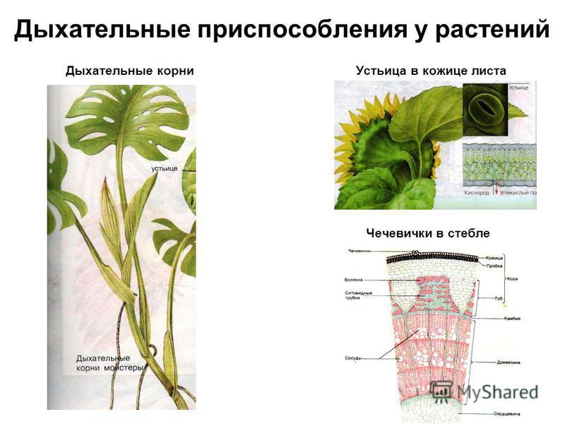 Дыхательные приспособления у растений Дыхательные корни Устьица в кожице листа Чечевички в стебле
