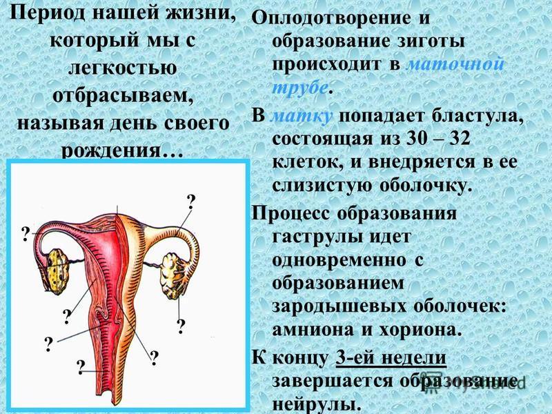 Период нашей жизни, который мы с легкостью отбрасываем, называя день своего рождения… Оплодотворение и образование зиготы происходит в маточной трубе. В матку попадает бластула, состоящая из 30 – 32 клеток, и внедряется в ее слизистую оболочку. Проце