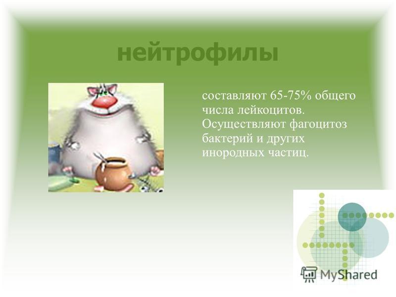 нейтрофилы составляют 65-75% общего числа лейкоцитов. Осуществляют фагоцитоз бактерий и других инородных частиц.
