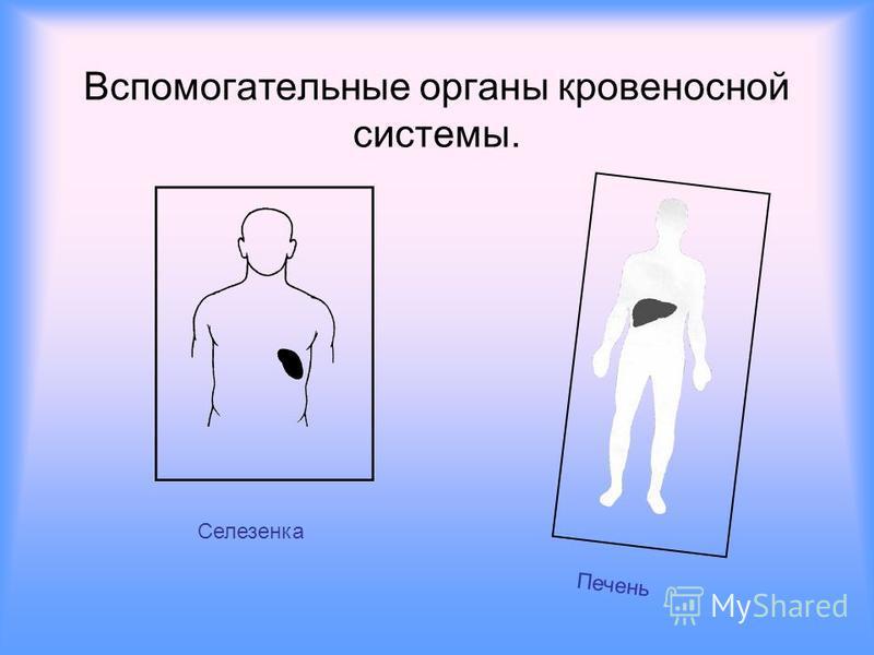 Вспомогательные органы кровеносной системы.