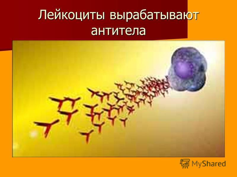 Лейкоциты вырабатывают антитела