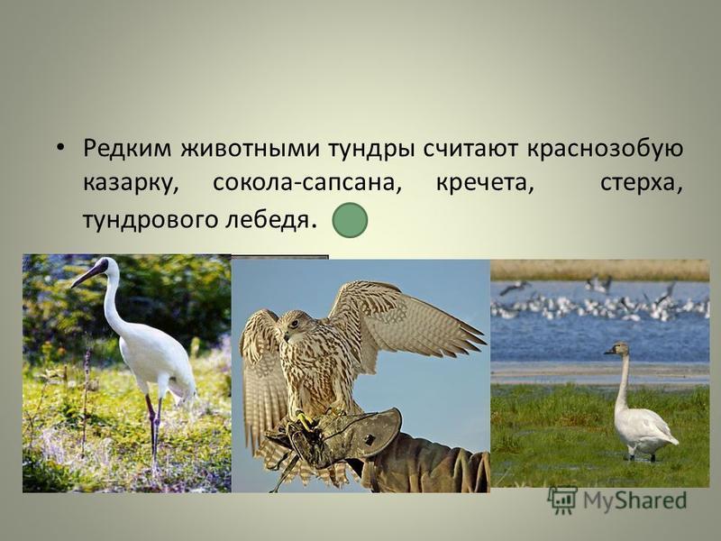 Редким животными тундры считают краснозобую казарку, сокола-сапсана, кречета, стерха, тундрового лебедя.