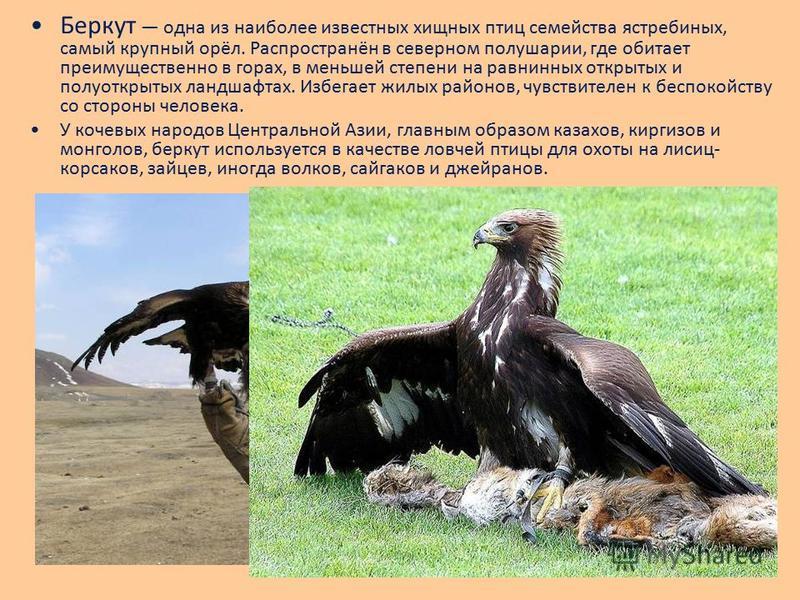Беркут одна из наиболее известных хищных птиц семейства ястребиных, самый крупный орёл. Распространён в северном полушарии, где обитает преимущественно в горах, в меньшей степени на равнинных открытых и полуоткрытых ландшафтах. Избегает жилых районов