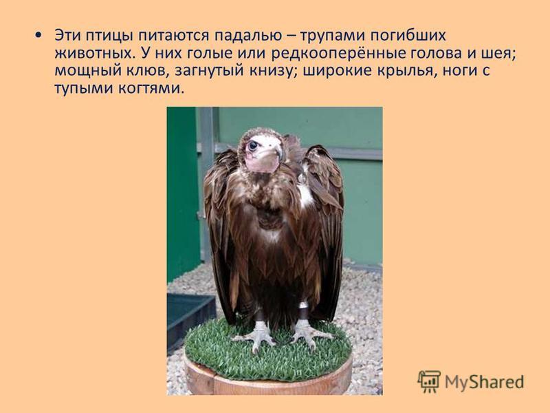 Эти птицы питаются падалью – трупами погибших животных. У них голые или редкооперённые голова и шея; мощный клюв, загнутый книзу; широкие крылья, ноги с тупыми когтями.