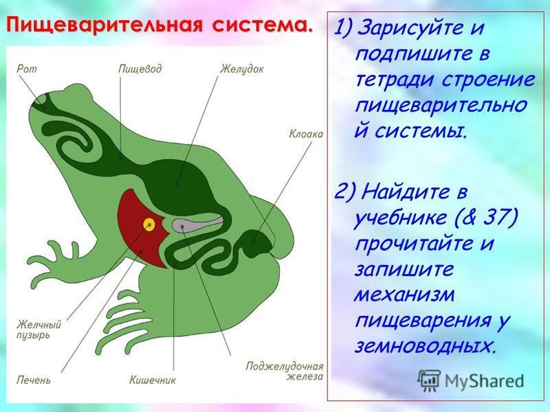Пищеварительная система. 1) Зарисуйте и подпишите в тетради строение пищеварительной системы. 2) Найдите в учебнике (& 37) прочитайте и запишите механизм пищеварения у земноводных.