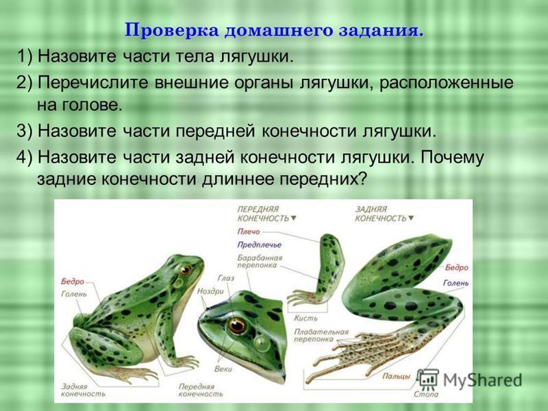 Проверка домашнего задания. 1) Назовите части тела лягушки. 2) Перечислите внешние органы лягушки, расположенные на голове. 3) Назовите части передней конечности лягушки. 4) Назовите части задней конечности лягушки. Почему задние конечности длиннее п
