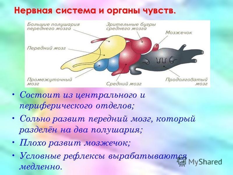 Нервная система и органы чувств. Состоит из центрального и периферического отделов; Сольно развит передний мозг, который разделён на два полушария; Плохо развит мозжечок; Условные рефлексы вырабатываются медленно.
