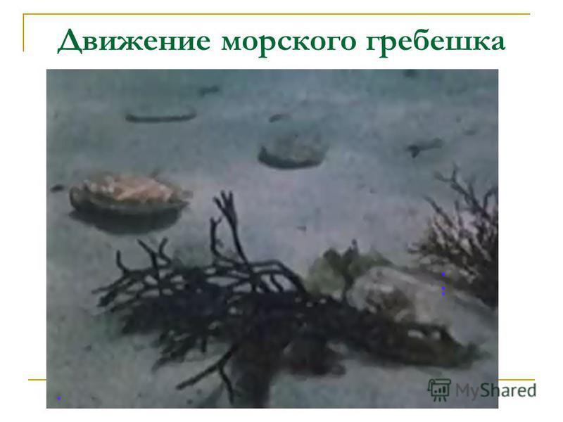 Движение морского гребешка