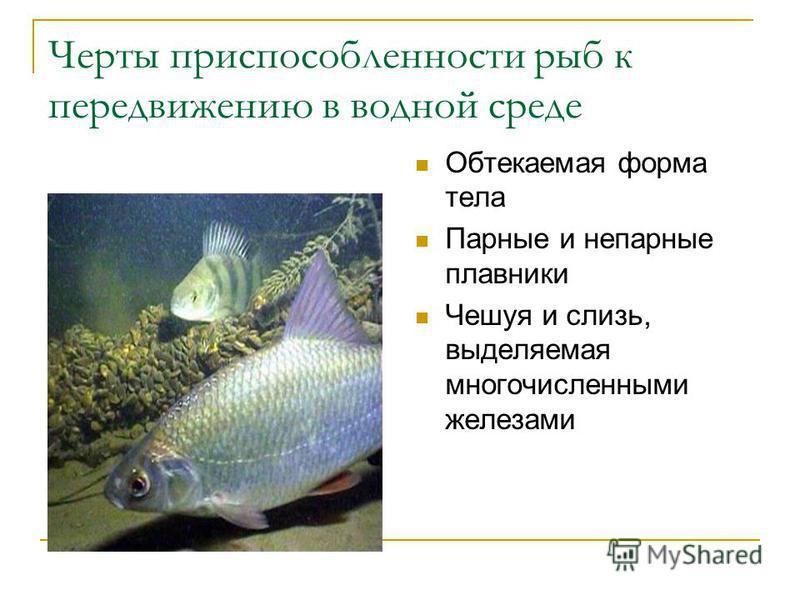 Черты приспособленности рыб к передвижению в водной среде Обтекаемая форма тела Парные и непарные плавники Чешуя и слизь, выделяемая многочисленными железами
