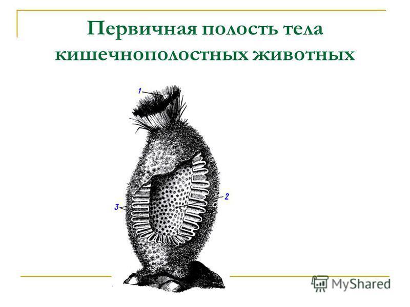 Первичная полость тела кишечнополостных животных