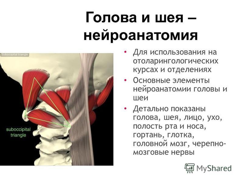 Голова и шея – нейроанатомия Для использования на отоларингологических курсах и отделениях Основные элементы нейроанатомии головы и шеи Детально показаны голова, шея, лицо, ухо, полость рта и носа, гортань, глотка, головной мозг, черепно- мозговые не