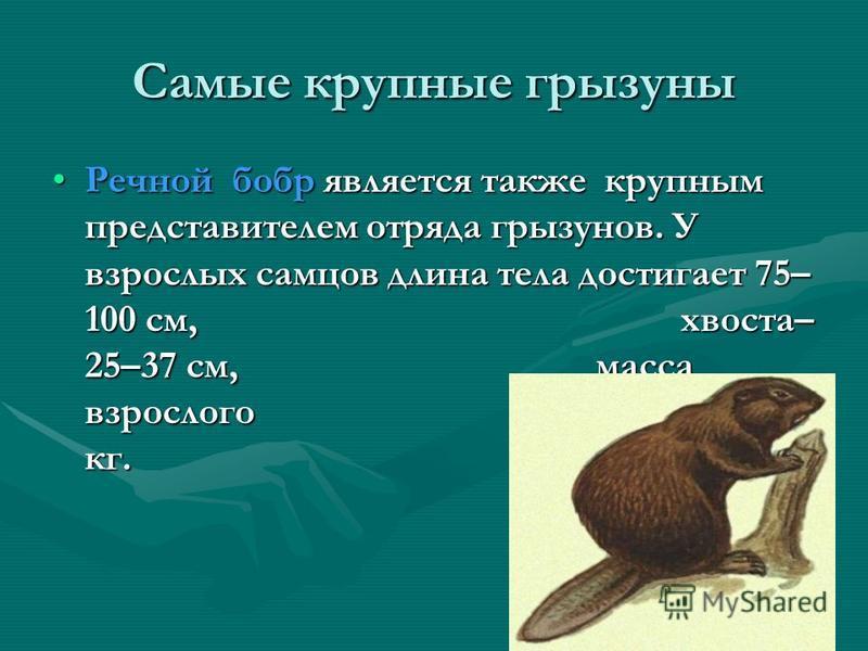 Самый крупный грызун – южноамериканская капибара, или водосвинка. Длина достигает 130 см.
