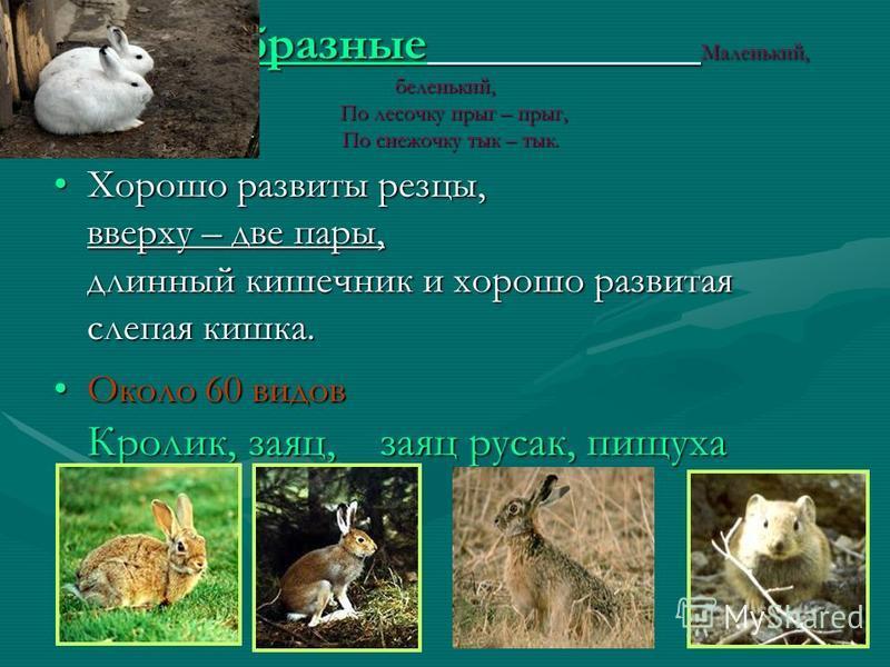 Самые крупные грызуны Речной бобр является также крупным представителем отряда грызунов. У взрослых самцов длина тела достигает 75– 100 см, хвоста– 25–37 см, масса взрослого зверя-17–24 кг.Речной бобр является также крупным представителем отряда грыз