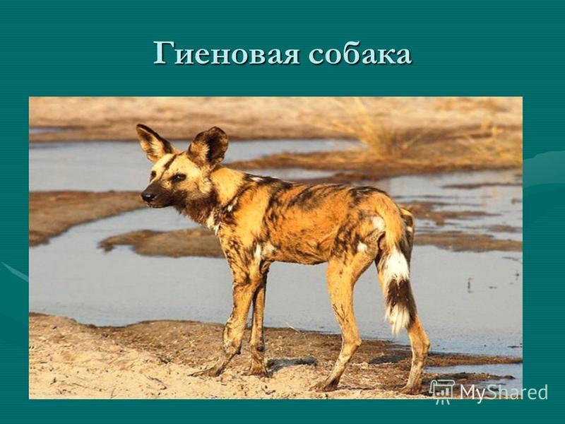 Семейство Волчьи средней величины с высокими или относительно короткими ногами крепкие, тупые, невтяжные когти морда удлиненная хорошо развито обоняние