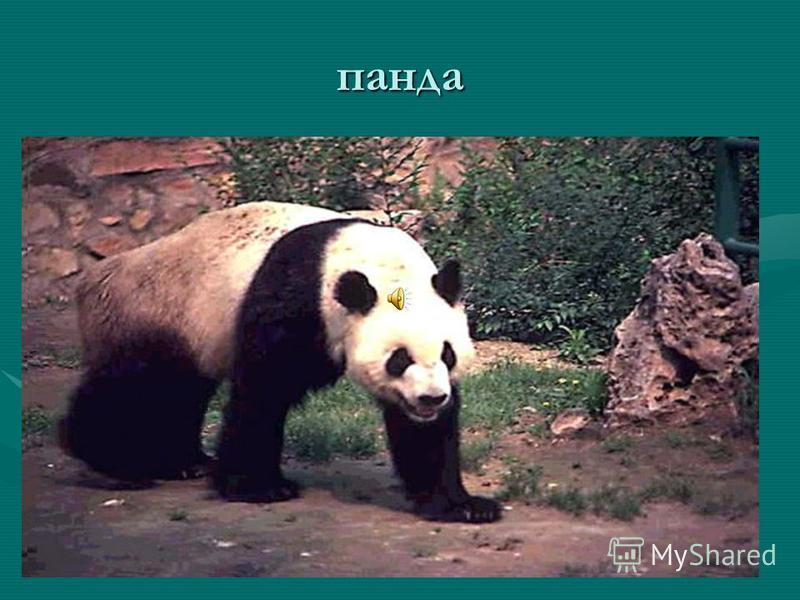 Наиболее крупный хищник – белый медведь – длина около 3 м, масса его достигает одной тонны.