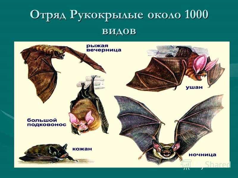 Отряд Насекомоядные Самым маленьким зверьком среди насекомоядных ( а так же и млекопитающих) является- карликовая белозубка. Длина её тела составляет от 3,5 до 5 см, масса зверька не превышает 1,5-1,7 грамма.Самым маленьким зверьком среди насекомоядн