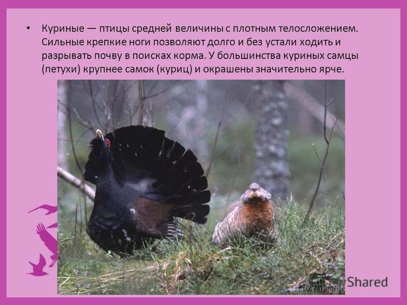 Куриные птицы средней величины с плотным телосложением. Сильные крепкие ноги позволяют долго и без устали ходить и разрывать почву в поисках корма. У большинства куриных самцы (петухи) крупнее самок (куриц) и окрашены значительно ярче.