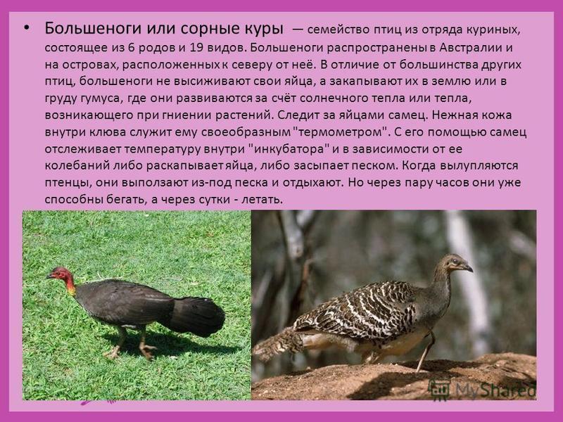Большеноги или сорные куры семейство птиц из отряда куриных, состоящее из 6 родов и 19 видов. Большеноги распространены в Австралии и на островах, расположенных к северу от неё. В отличие от большинства других птиц, большеноги не высиживают свои яйца