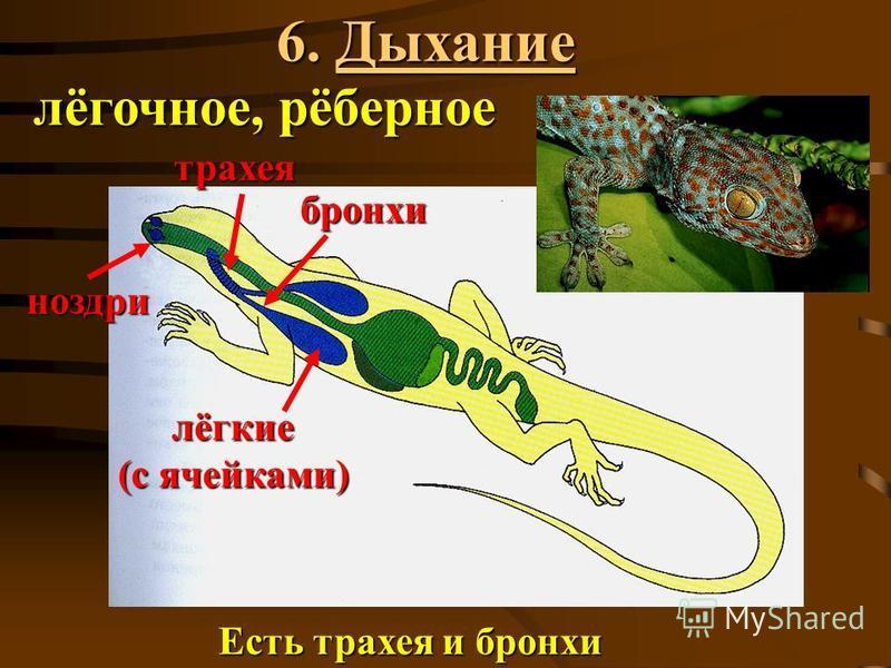6. Дыхание ноздри трахея бронхи лёгкие (с ячейками) Есть трахея и бронхи лёгочное, рёберное