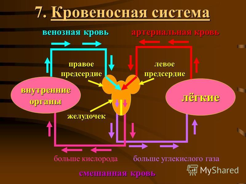 7. Кровеносная система лёгкие внутренние органы желудочек правое предсердие левое предсердие смешанная кровь венозная кровь артериальная кровь больше кислорода больше углекислого газа