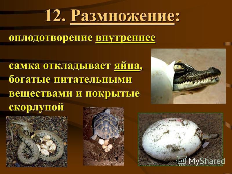 12. Размножение: оплодотворение внутреннее самка откладывает яйца, богатые питательными веществами и покрытые скорлупой
