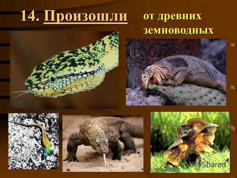 14. Произошли от древних земноводных