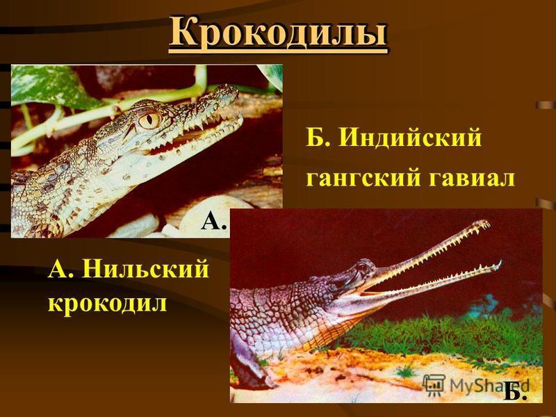 Крокодилы Крокодилы А. Нильский крокодил Б. Индийский гангский гавиал А. Б.