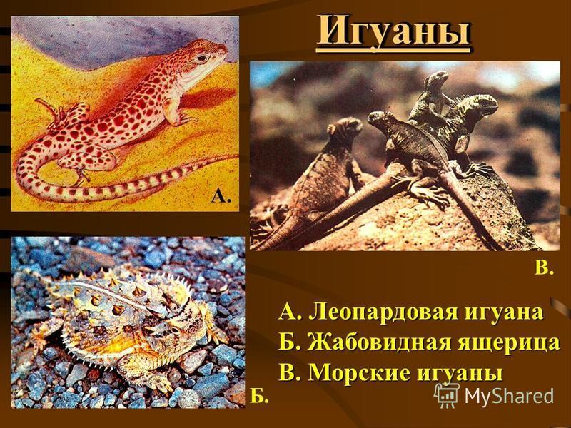 Игуаны Игуаны А. Леопардовая игуана Б. Жабовидная ящерица В. Морские игуаны А. Б. В.