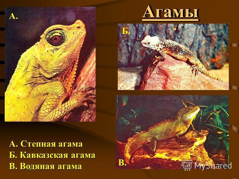 Агамы Агамы А. Степная агама Б. Кавказская агама В. Водяная агама А. Б. В.
