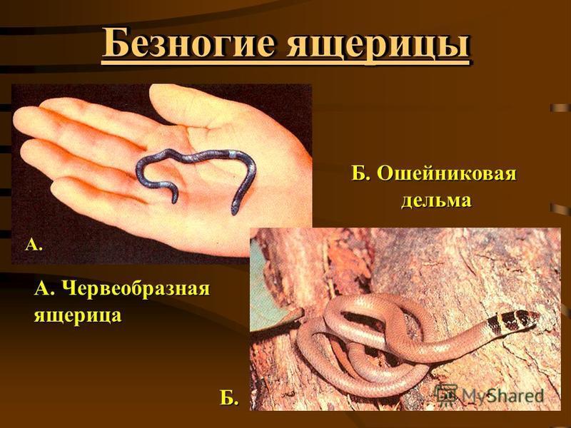 Безногие ящерицы А. Червеобразная ящерица А. Б. Ошейниковая дельма дельма Б.