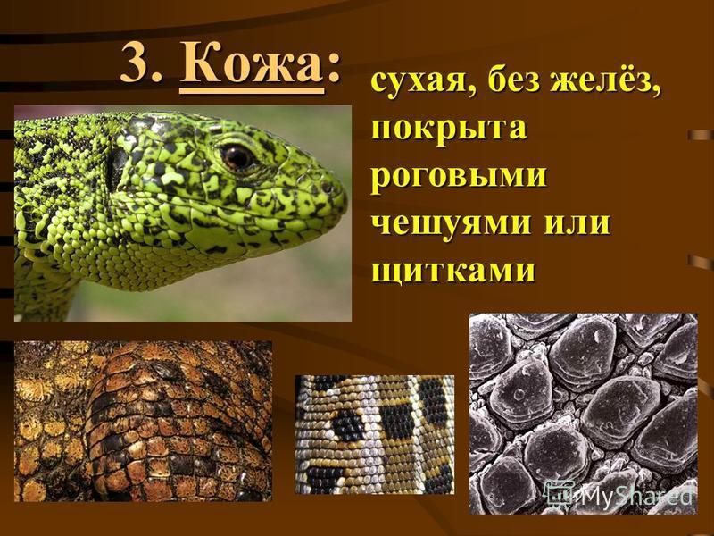 3. Кожа: сухая, без желёз, покрыта роговыми чешуями или щитками
