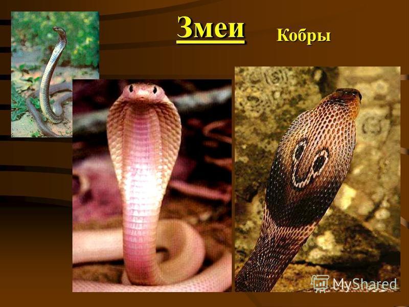 Змеи ЗмеиКобры