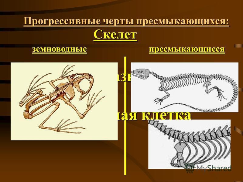 Прогрессивные черты пресмыкающихся: Скелет земноводные пресмыкающиеся 4. хорошо развиты рёбра; 5. есть грудная клетка