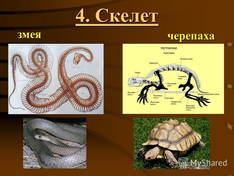 змея черепаха