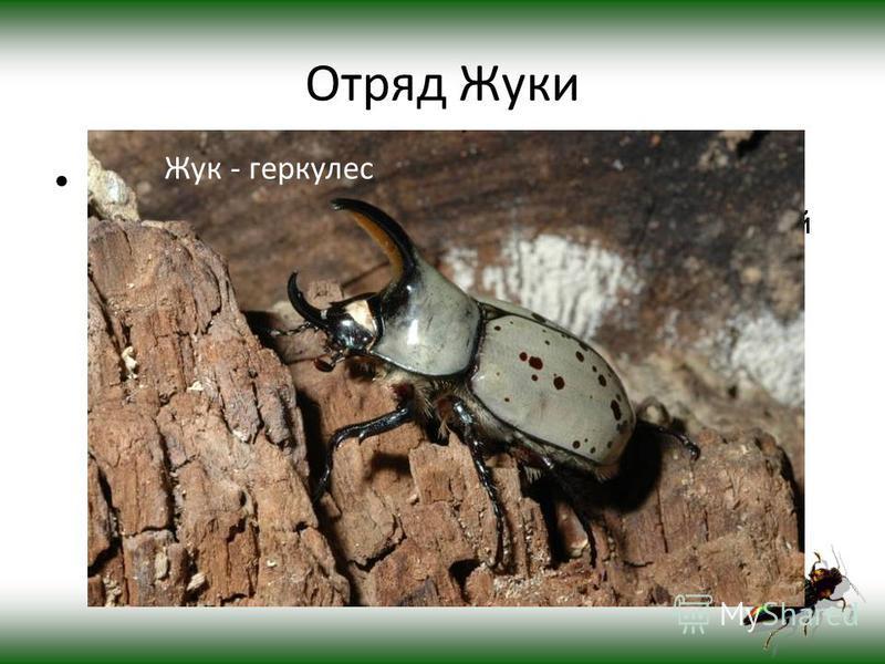 Отряд Жуки ЖУКИ (жесткокрылые), наиболее многочисленный отряд насекомых, включающий более 180 семейств, всего около 250 тыс. видов. Разделяется на два подотряда хищных и разноядных. Встречаются повсеместно, от полярных областей до тропиков. Размеры в