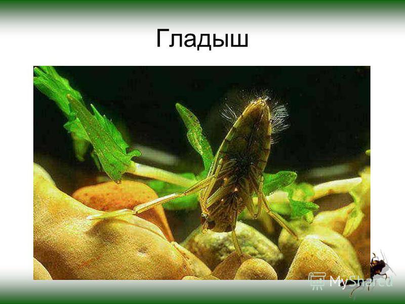 Гладыш