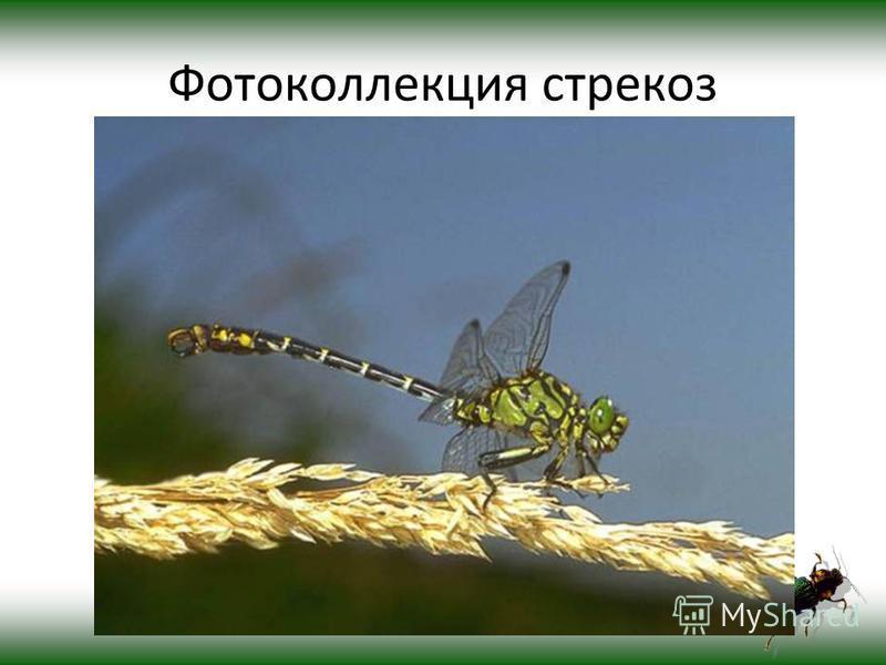 Фотоколлекция стрекоз
