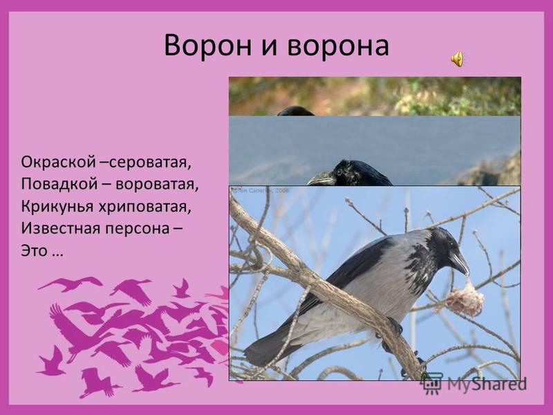 Отряд Воробьинообразные насчитывает 5 тыс. видов, это почти 2/3 всех видов птиц. Воробьинообразные среди птиц то же, что окунеобразные среди костных рыб и грызуны среди млекопитающих. Птицы этого отряда разнообразны и вездесущи. Обычно это птицы мелк