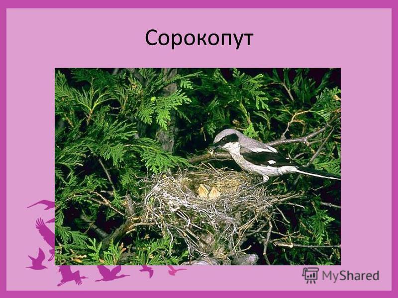 Семейство Сорокопуты