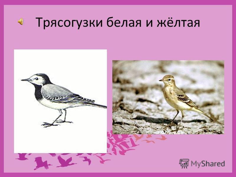 Семейство Трясогузковые
