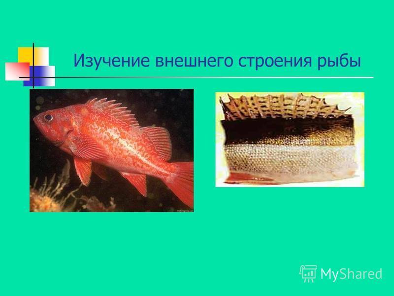 Изучение внешнего строения рыбы