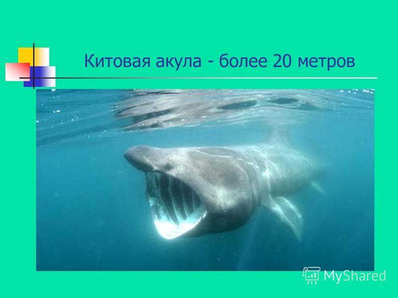 Китовая акула - более 20 метров