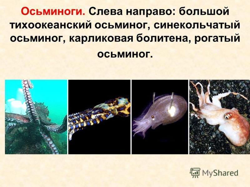 Осьминоги. Слева направо: большой тихоокеанский осьминог, синекольчатый осьминог, карликовая политена, рогатый осьминог.
