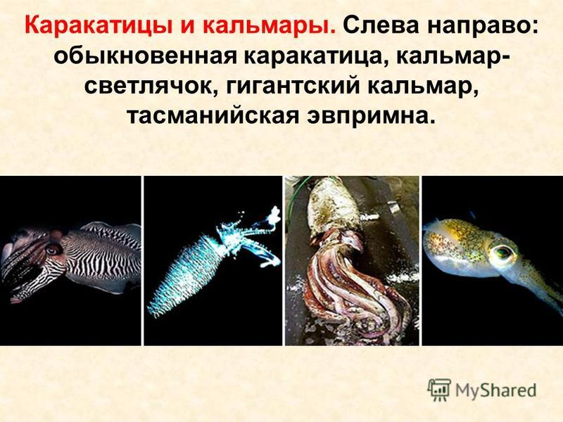 Каракатицы и кальмары. Слева направо: обыкновенная каракатица, кальмар- светлячок, гигантский кальмар, тасманийская эвпримна.