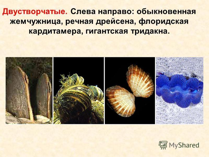 Двустворчатые. Слева направо: обыкновенная жемчужница, речная дрейсена, флоридская кардитамера, гигантская тридакна.